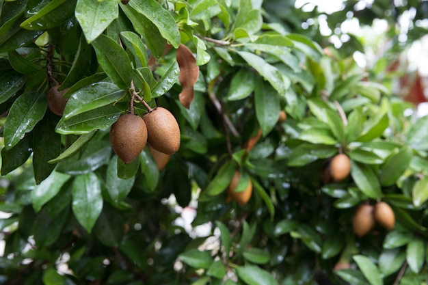 Fresh sapodilla on the tree, sapodilla plum focus selective