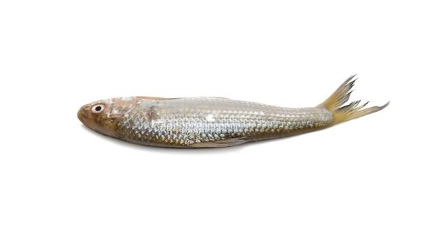 격리 된 흰색 배경에 신선한 바다 물고기 전체 보기