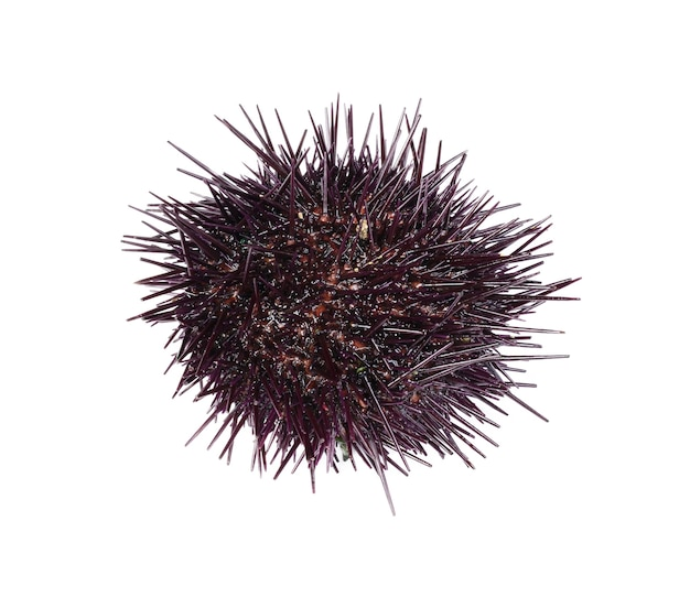 Fresh sea urchin on white surface