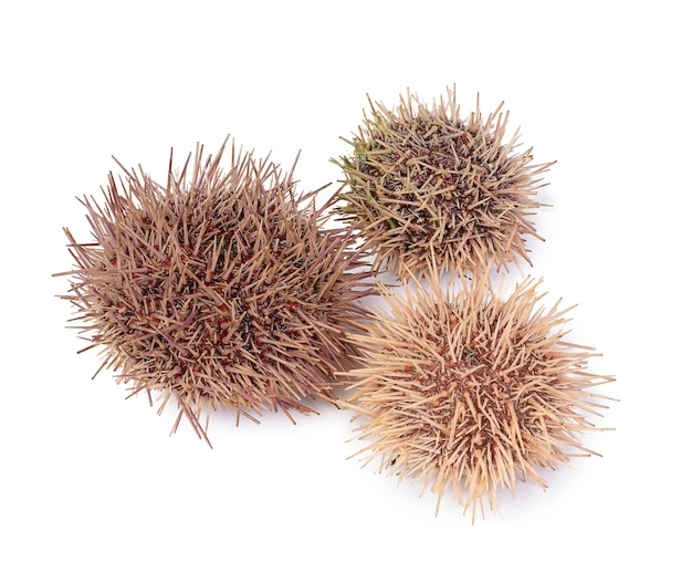 Fresh sea urchins and white sea urchins on white surface