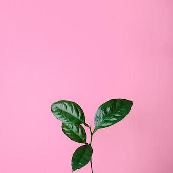 Fresh shiny lemon tree branch on pastel pink background