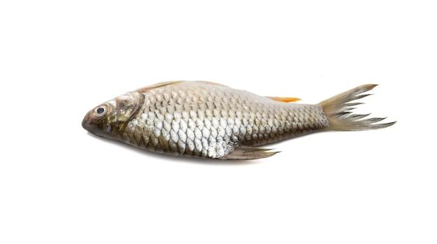 격리 된 흰색 배경에 신선한 빛나는 올리브 은색 미늘 물고기 닫기보기