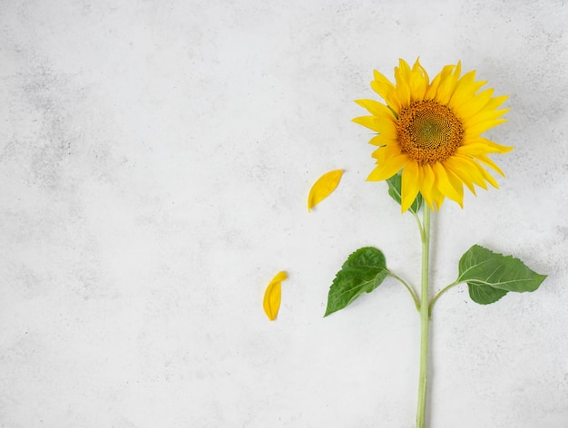 Fresh single yellow sunflower on white background