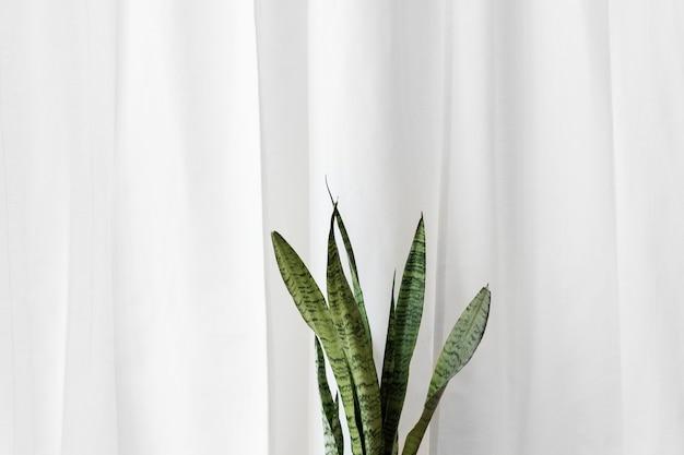 평범한 흰색 커튼 앞의 신선한 뱀 식물