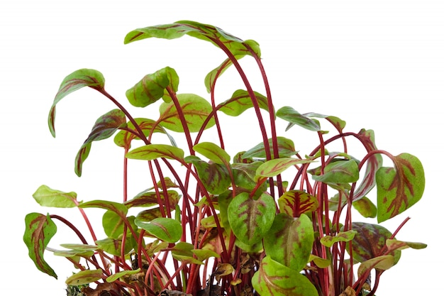 Fresh sorrel sprouts isolated on white. microgreens.