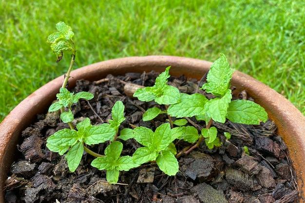 Свежие листья мяты в горшке на зеленом фоне. закройте вверх по красивой мяте, мяте перечной.