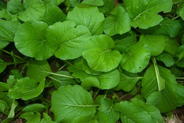 Fresh spinach in the garden
