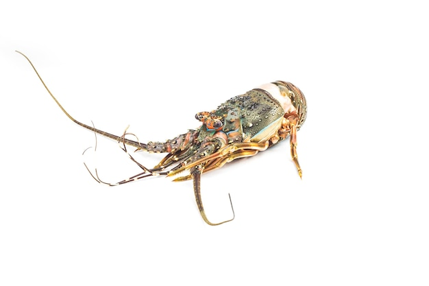Свежий колючий лобстер, изолированные на белом фоне, palinurus vulgaris