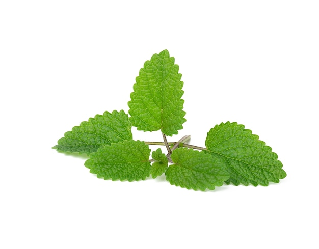 Fresh sprig of mint with green leaves isolated on white background, fragrant spice