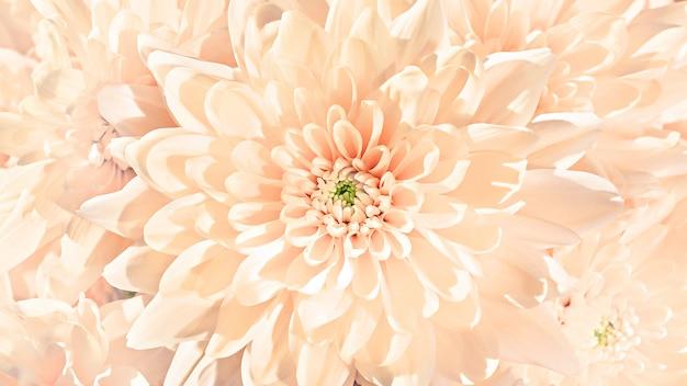 新鮮な春と夏のパステル桃色クローズアップ菊芽パターンテクスチャ