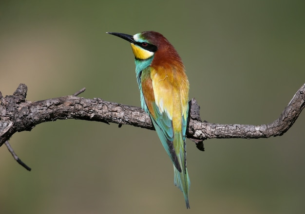 부드러운 아침 햇살에 쏘인 신선한 봄 꿀벌 먹는 사람은 얇은 나뭇 가지에 앉아 있습니다. 짝짓기 깃털