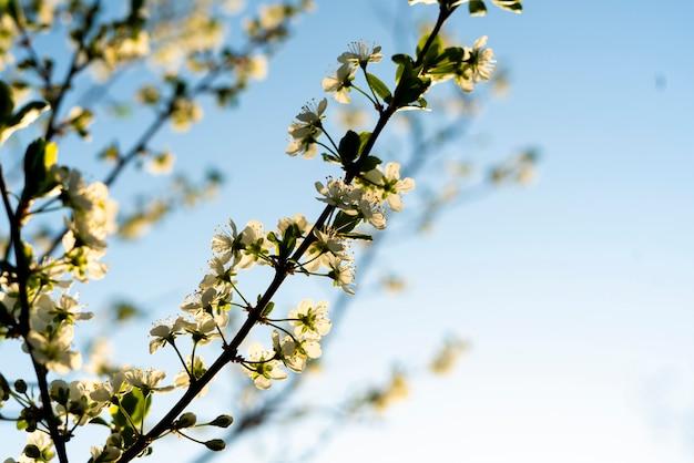 Fresh spring blossom or flower of the fruit tree under sun shine