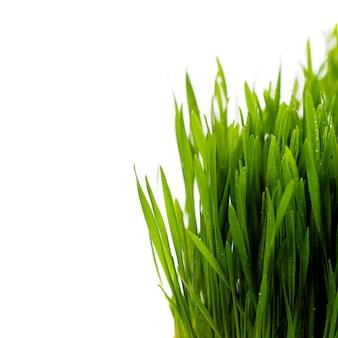 白の上の新鮮な春の緑の草