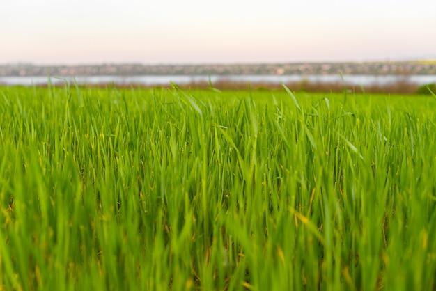 新鮮な春の緑の草