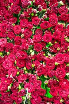 新鮮な春の赤いバラの背景