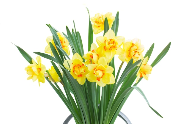 Fresh spring yellow daffodils close up isolated on white background