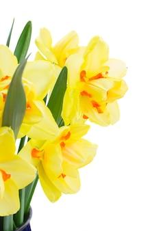 Свежие весенние желтые цветы нарцисса крупным планом на белом фоне