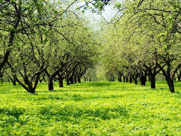 リンゴの木の庭の新鮮な春の緑