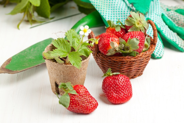Fresh strawberries and garden tools