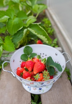 Fresh strawberries growing in the ground in a greenhouse