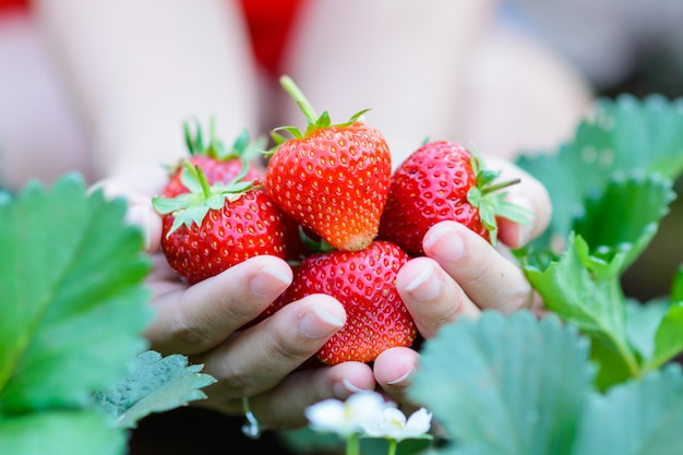 Fresh strawberries handpicked from a strawberry farm