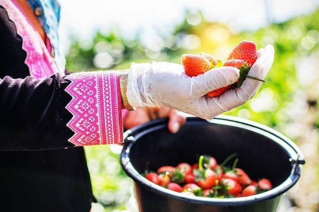 정원사의 손에 신선한 딸기입니다.