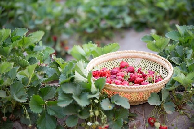 いちご畑の新鮮なイチゴ