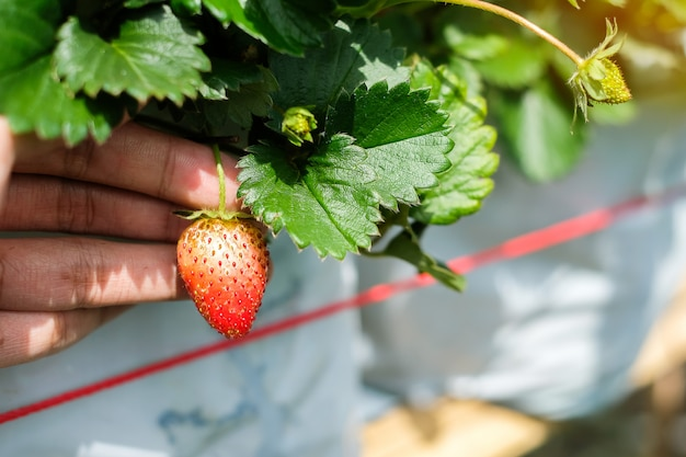 Fresh strawberries on the tree, red ripe and green.