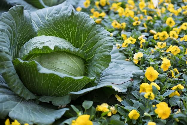 Fresh sweet cabbage growing in vegetable garden