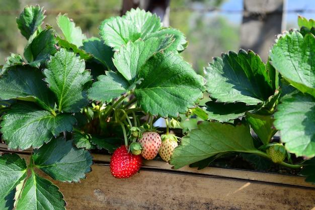 Fresh sweet strawberries fruits glow in the bamboo tube