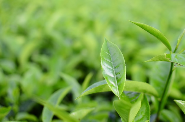 Fresh tea leaves on blurry background
