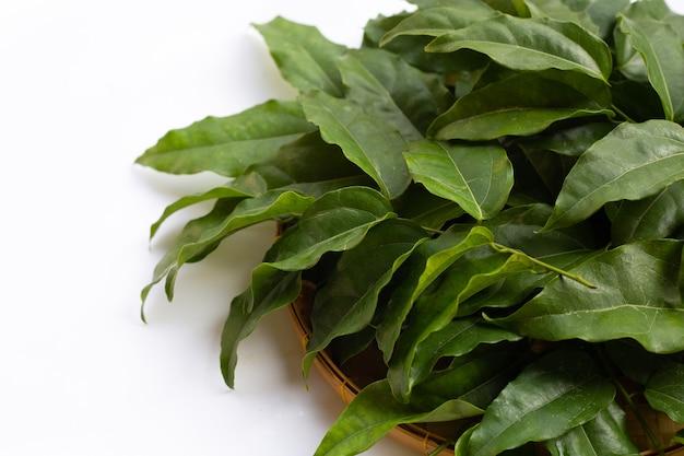 Свежие тилиакора триандра зеленые листья