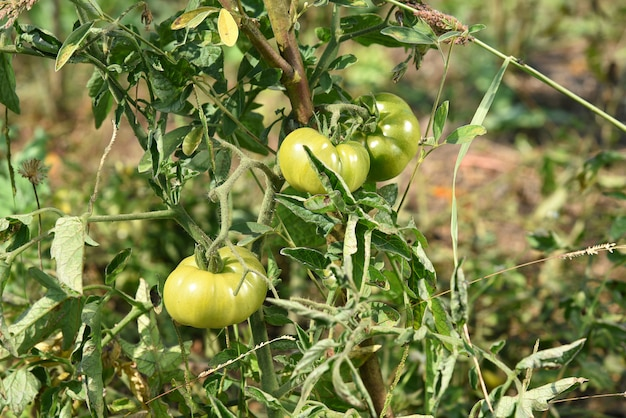 Fresh tomato plant in organic farm