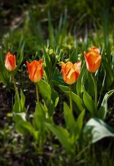 정원에서 신선한 튤립, 튤립의 아름 다운 꽃다발.