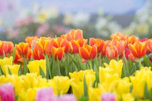 Fresh tulips in sunlight