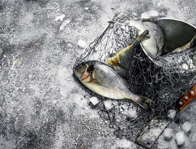 Fresh unprepared dorado fish in an old bucket with fishing net on rustic table.