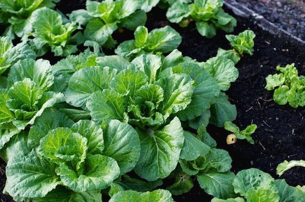 Fresh vegetable garden