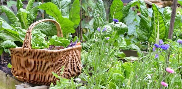 Сбор свежих овощей в плетеной корзине в саду