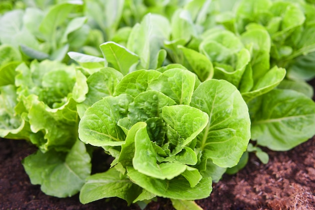 Fresh vegetables lettuce leaf in the garden food organic vegetable gardening wait harvested for green salad health food
