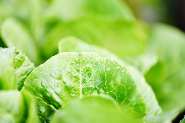 Fresh vegetables lettuce with water drop on leaf in the garden food organic vegetable gardening wait harvested for green salad health food