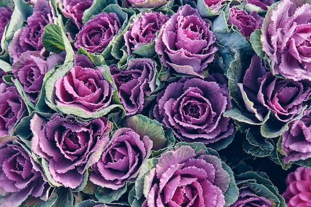 新鮮な紫キャベツの葉。花の花のテクスチャ。自然な背景。