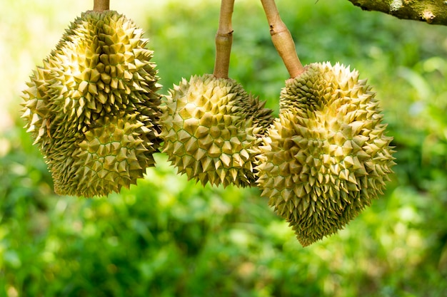 Fresh volcano durian sisaket thailand on tree