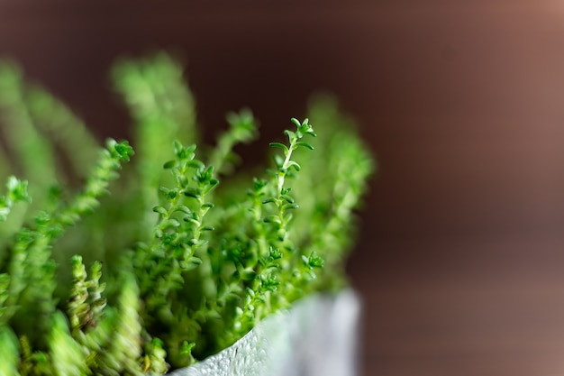 Fresh watercress grass sprouts with water droplets close up