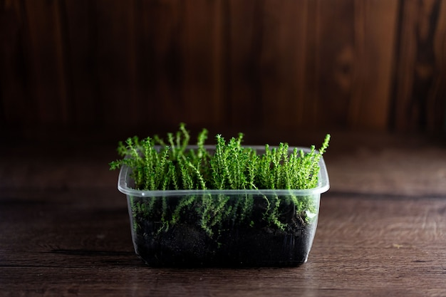 Fresh watercress grass sprouts with water droplets in a plastic container on wooden background