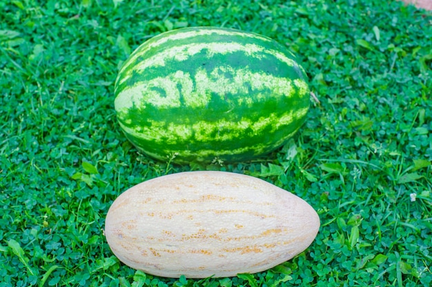 Fresh watermelon and melon lie on the green grass of the garden harvesting healthy food concept