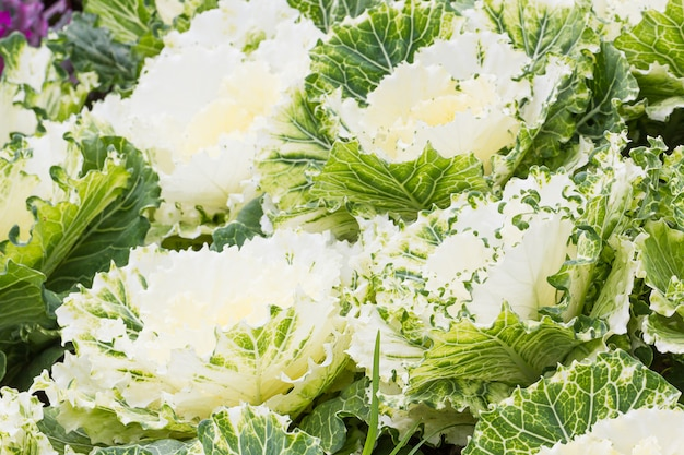 Fresh white cabbage (brassica oleracea) plant leaves