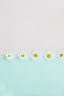 Fresh, white chamomiles or daisies isolated. soft light color.  empty place for inspirational, emotional text.