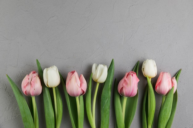 Fresh white and pink tulips on gray concrete background