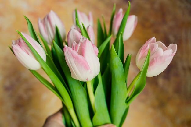 Fresh white pink tulips. spring flowers.