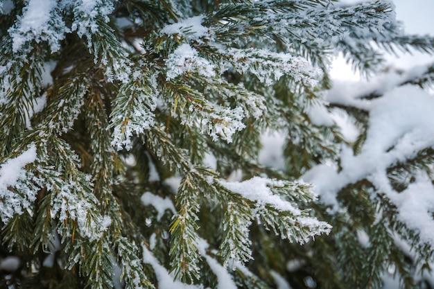 상록 나무 가지, 자연 겨울에 신선한 하얀 눈.